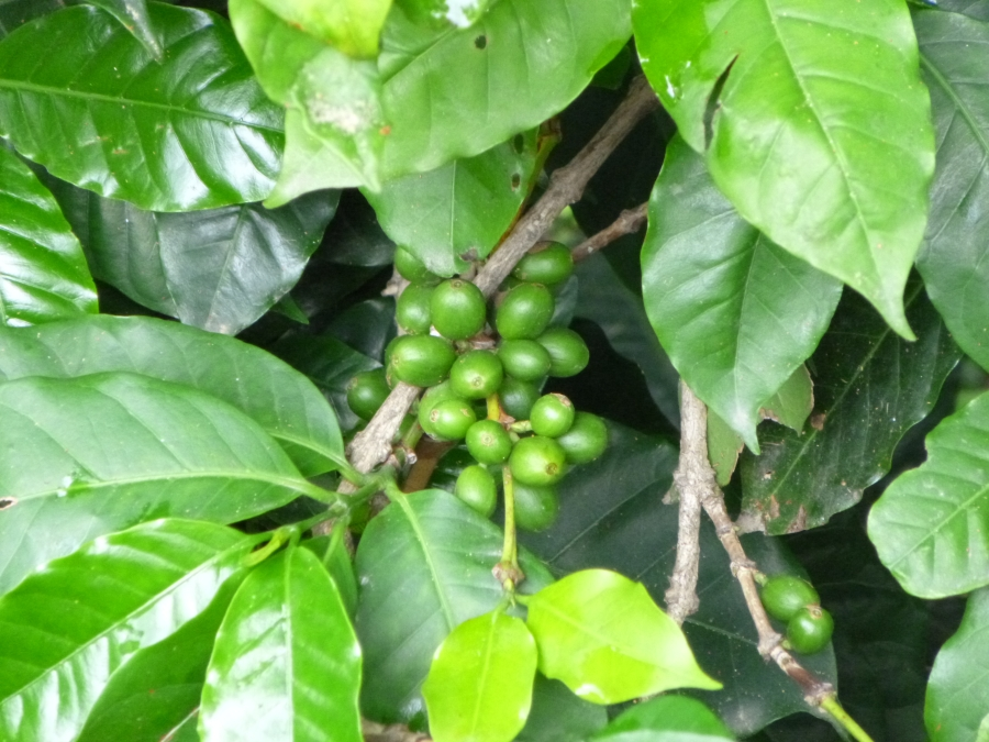 Coffee is One of Guatemalan Main Crops