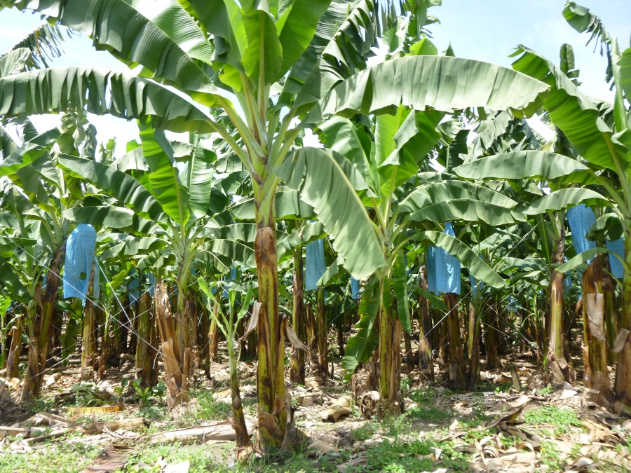 Banana Plantation - The Bananas Are Kept Inside The Blue Plastic