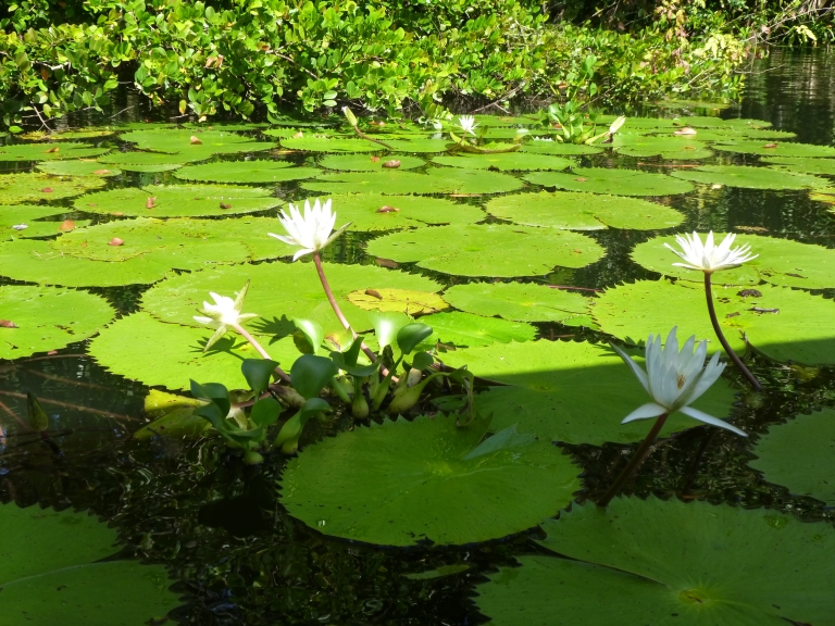 Lotus on the Tatin River