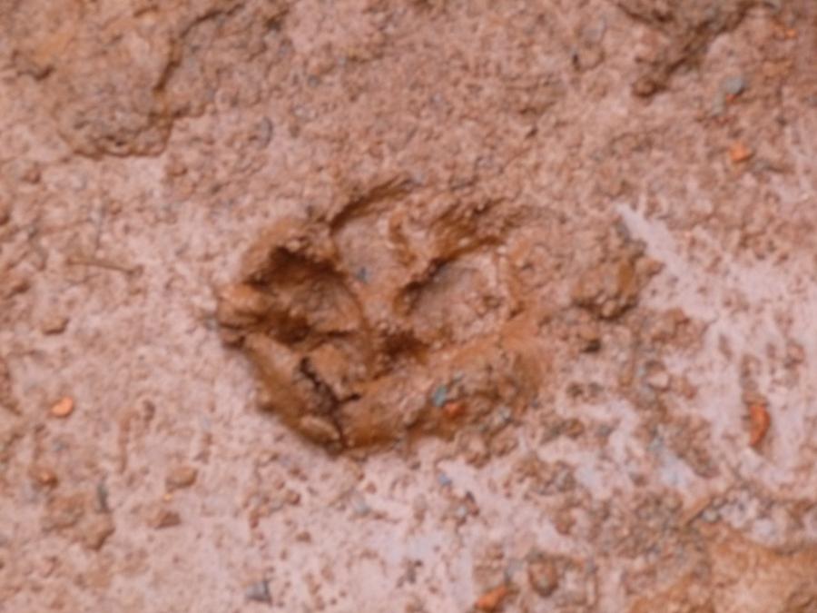 Fresh Jaguar Tracks