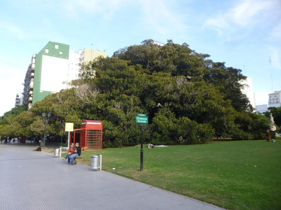 The Giant Tree Outside La Biela Cafe/Recoleta Cemetery