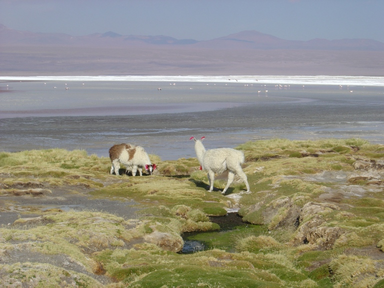 Vacunas in Eduardo Avaroa Natural Reserve Park, Bolivian Altiplano (High Plain)