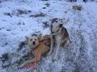A pair of Alaskan Huskies at Arctic Adventures Norway in Tromsø, Norway. Morning Session of Dogsledding.